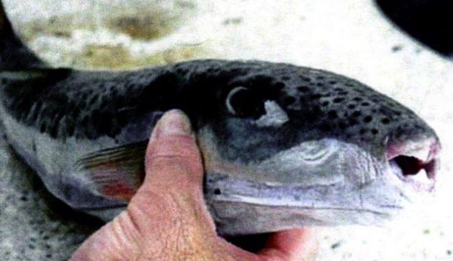 «Εισβολή» ξενικών ψαριών στις θάλασσες μας